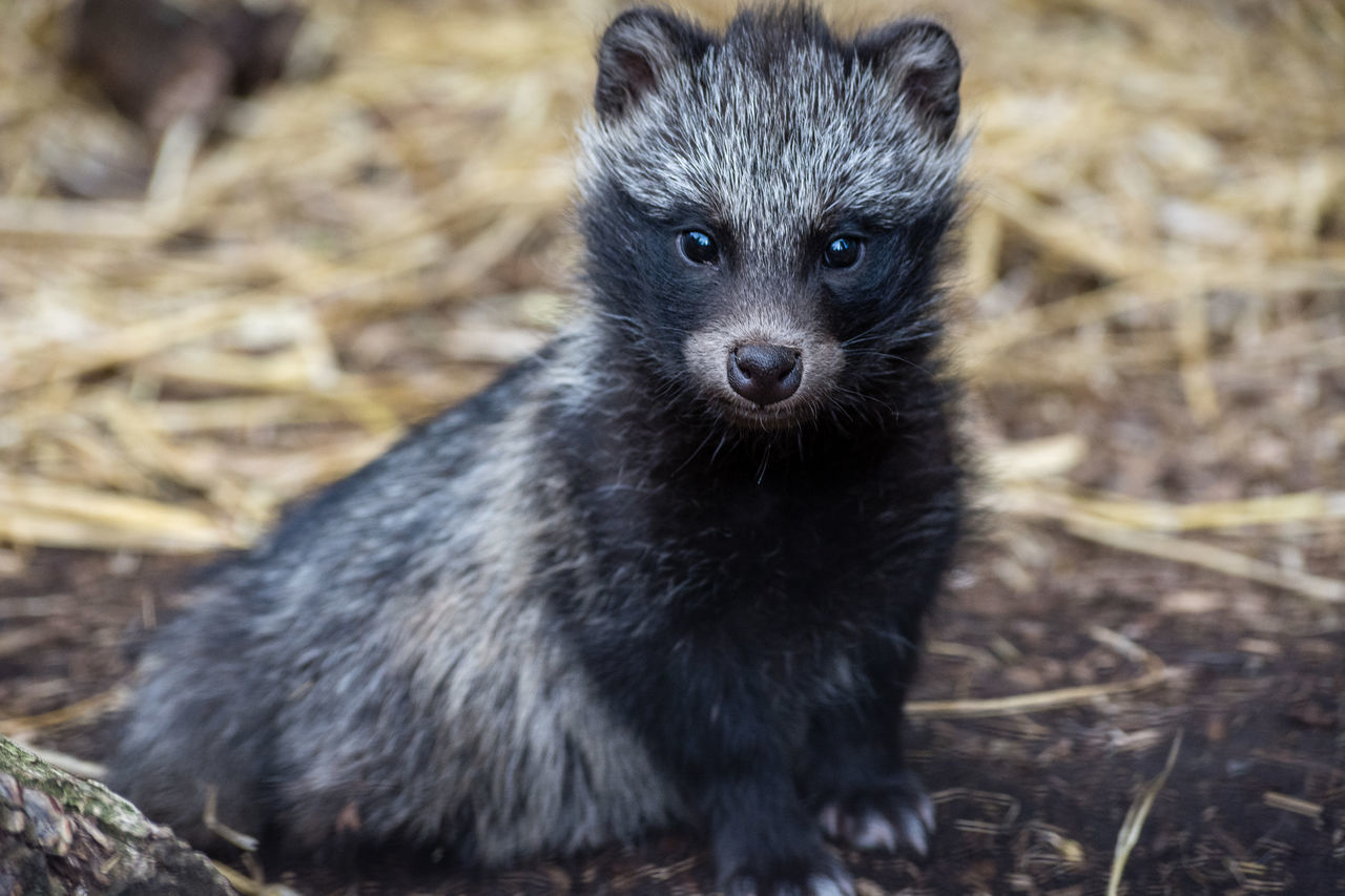 one animal, animal themes, mammal, portrait, looking at camera, animals in the wild, animal wildlife, young animal, no people, outdoors, day, close-up, nature, raccoon