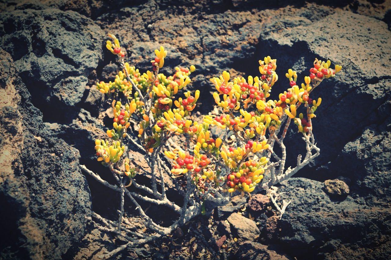 succulent plant growing on lava rock on Tenerife, montana amarilla region. Tenerife Teneriffa Montana Amarilla Succulents Canary Islands Cactus