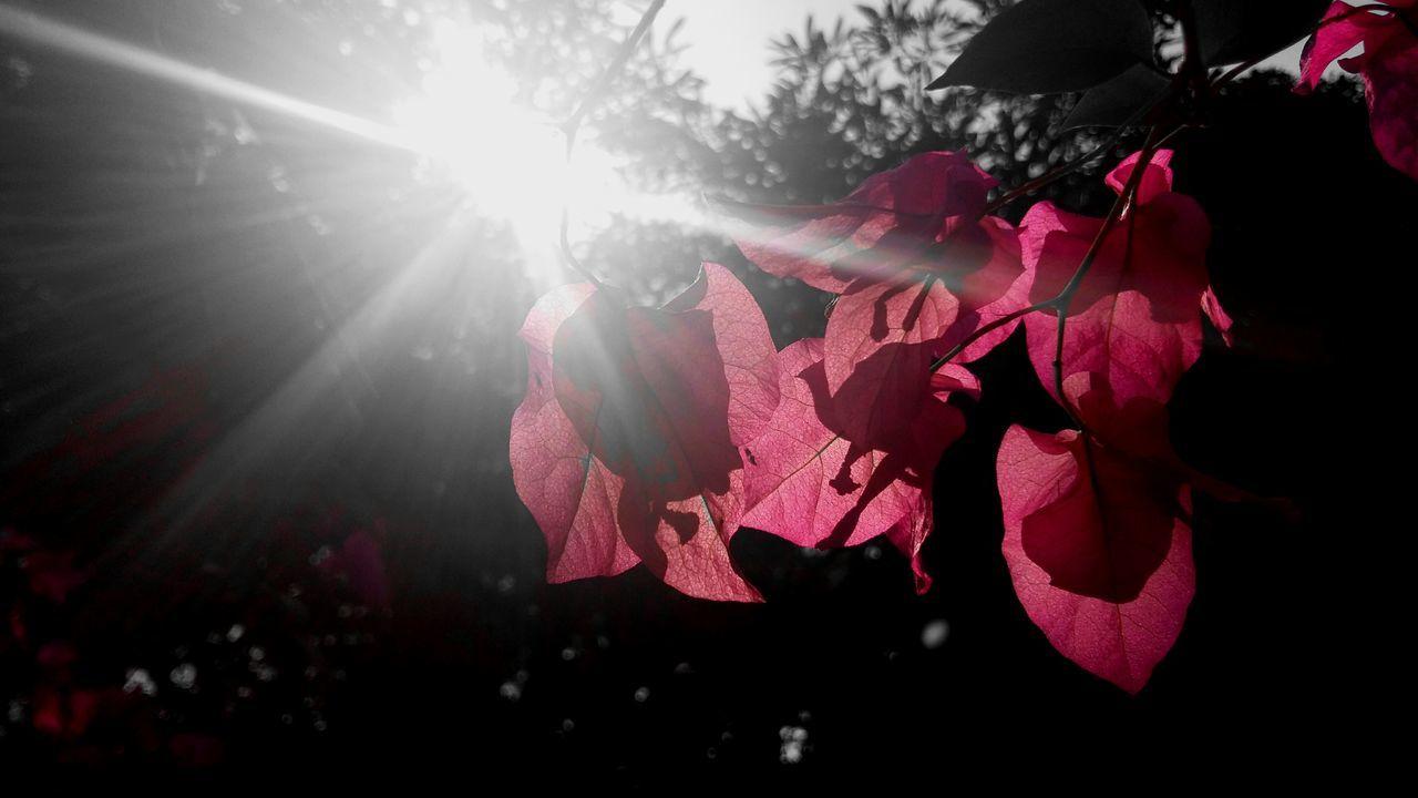 Sun Splash , dark side Branch Dark Clear Sky Sun Flower Freshness Nature Green Scenics Beauty Sky Splash Flowers Flowers,Plants & Garden Flowerlovers flowergardennatureecuadorsantodomingoecuadoreyeEmfollowersiphoneonlynofiltrermacro_gardenprettybeautifulfollowmesho Flowers 🌸🌸🌸 Pink Flowers Blackandwhite Black And White With A Splash Of Colour Black And White Flower Collection Pink Rose Fresh On Eyeem