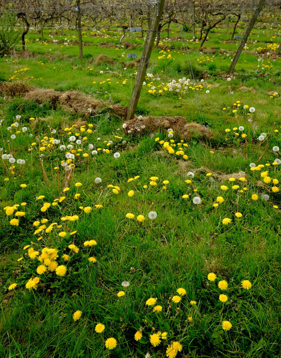 Vineyard in the spring Agriculture Beauty In Nature Blooming Countryside Farm Field Flower Flower Head Fresh Grapes Grass Growth Growth Meadow Nature Nature No People Organic Outdoors Plants Spring Uncultivated Vineyard Wildflower Yellow