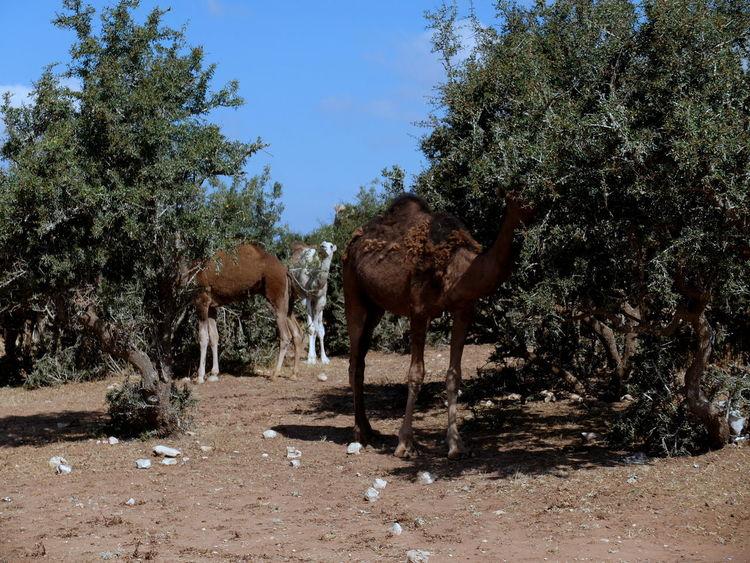 Hide and seek Argan Trees Blue Sky Dromedary Herd Hideandseek Morocco The Great Outdoors - 2017 EyeEm Awards Tree