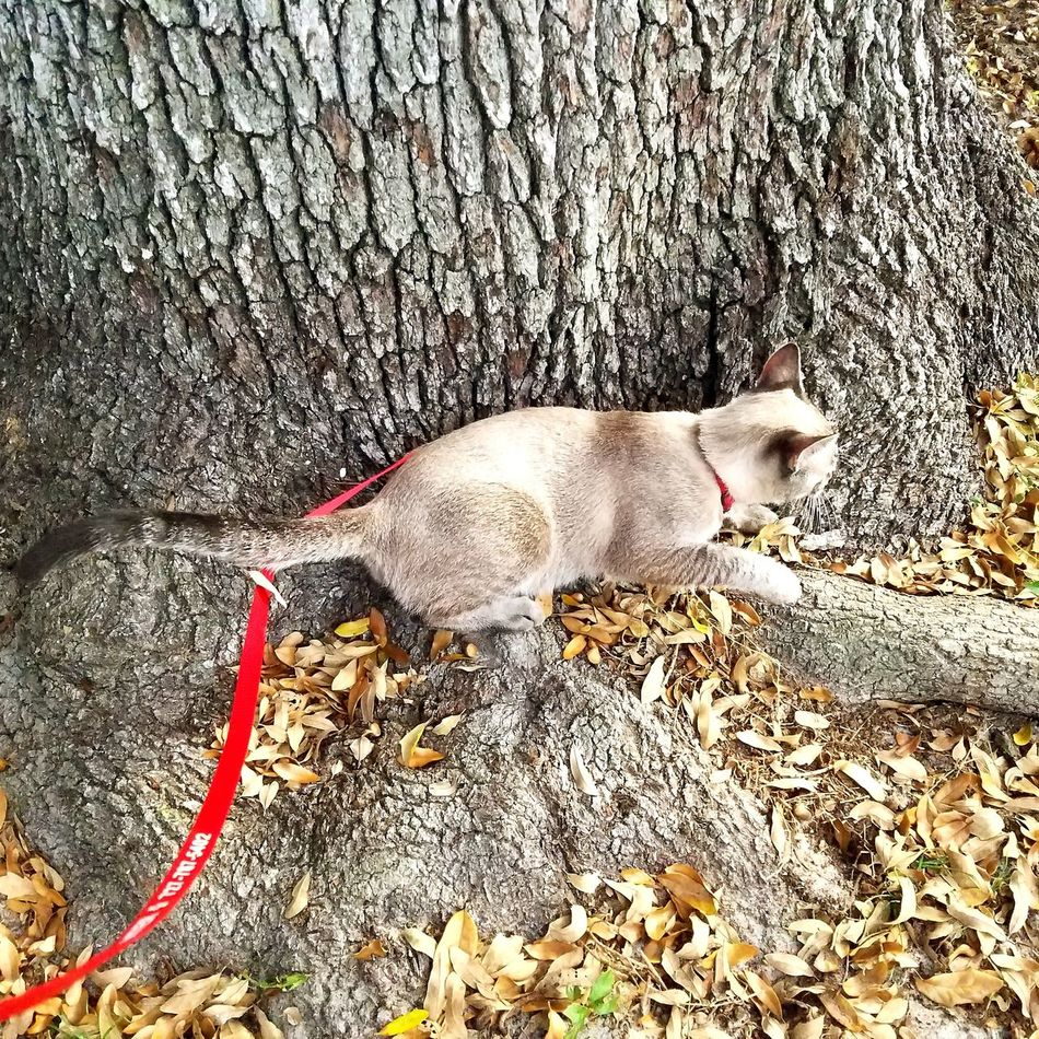 Animal Themes Mammal Dog Domestic Animals Pets High Angle View No People One Animal Outdoors Day Siamese Cat Rescue