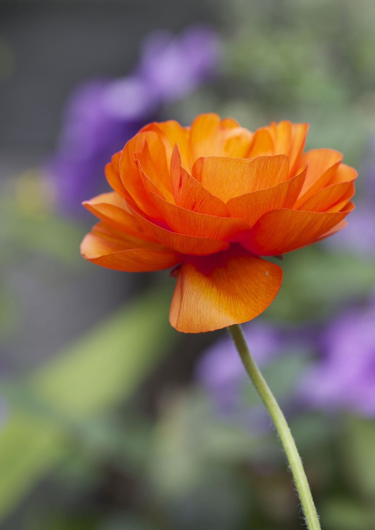 Isolated Single Stemmed Vibrant Poppy Beauty In Nature Close-up Flower Flower Head Fragility Freshness Growth Nature Outdoors Petal Plant Poppy Flowers Single Stem Summertime Vibrant Colours