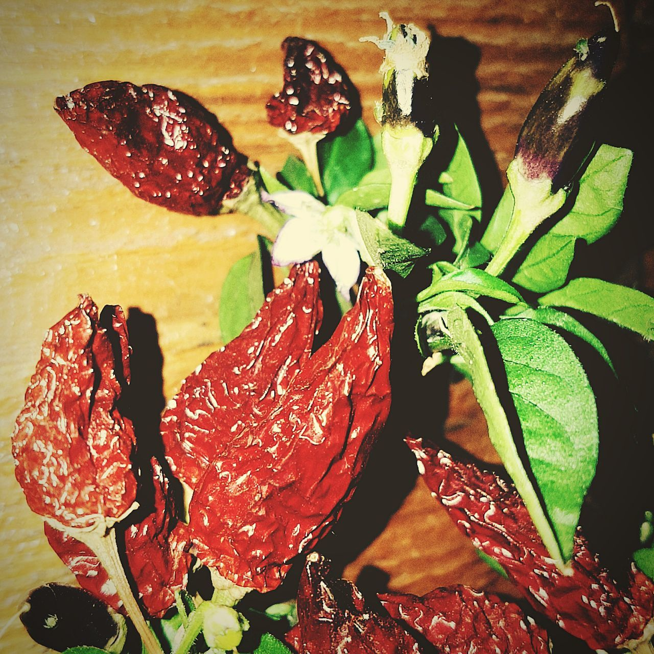 Chili Pepper Spices Food Chili Peppers RedChiliPeper Food No People Close-up Chili Plant Planted Redhotchillipeppers