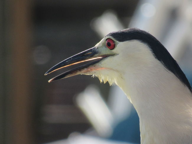 Black Crowned Heron Blurred Background Feathers Of A Bird Harbor View Head Shot  Long Beak Open Mouth Red Eyed Bir Sensitive Shot Up Close