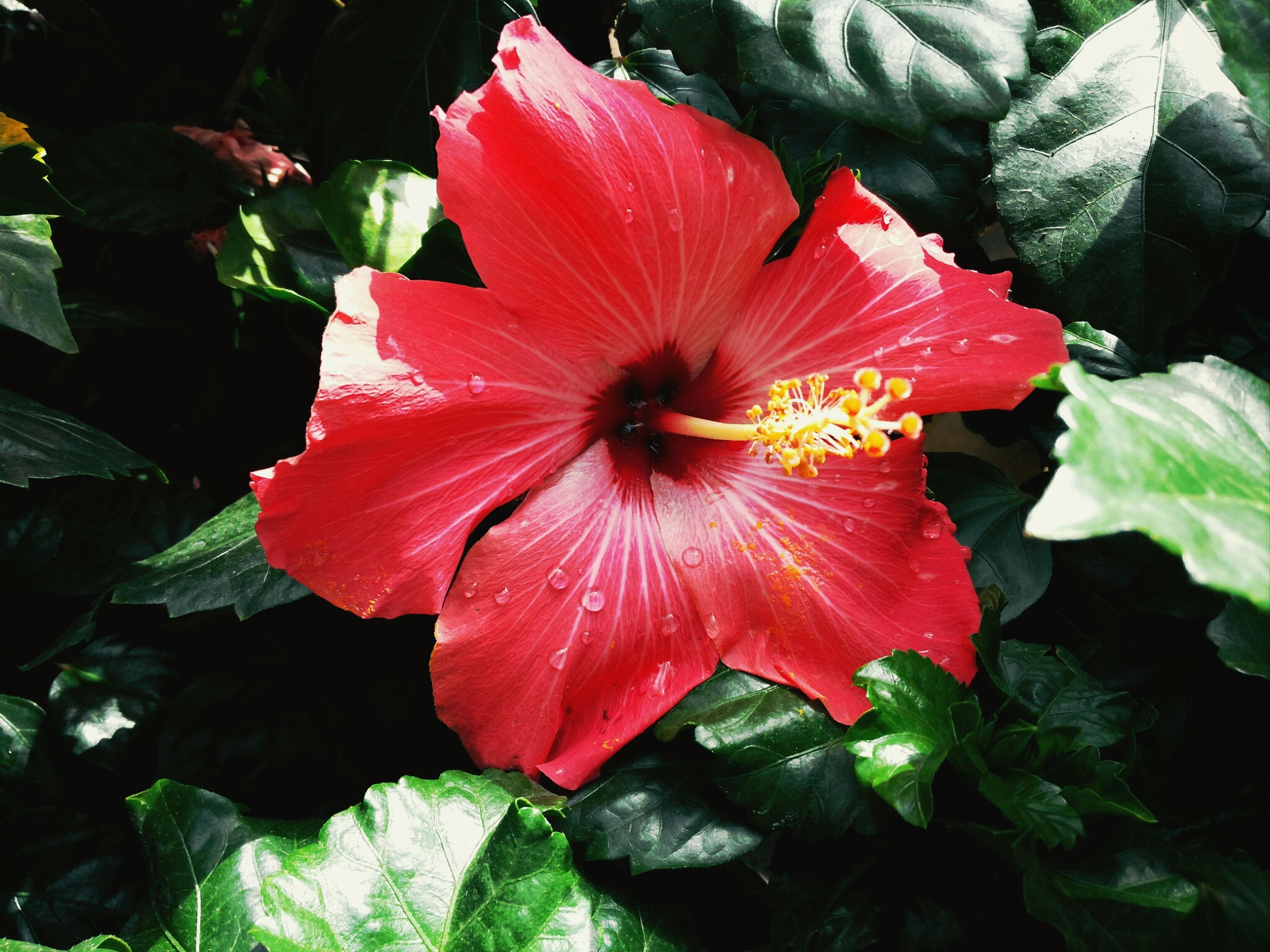 flower, petal, freshness, flower head, fragility, red, growth, beauty in nature, leaf, blooming, plant, nature, single flower, close-up, pollen, high angle view, in bloom, hibiscus, stamen, day