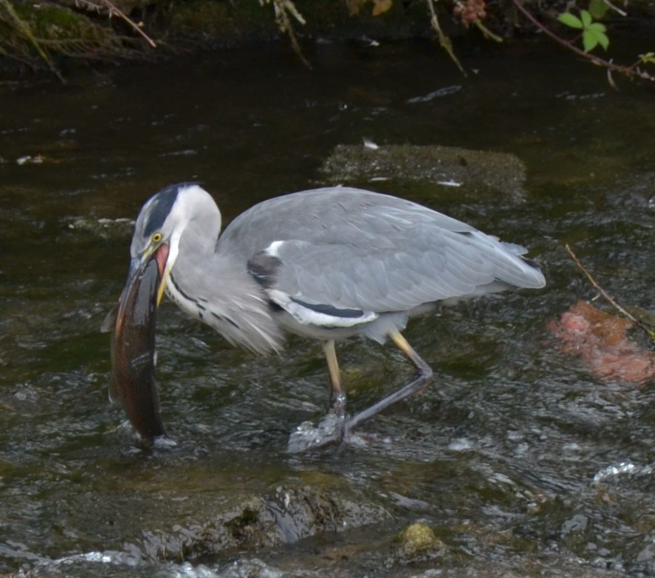 Bird Down In One Grey Heron Feeding Heron Fishing Nature Water Water Bird Wildlife