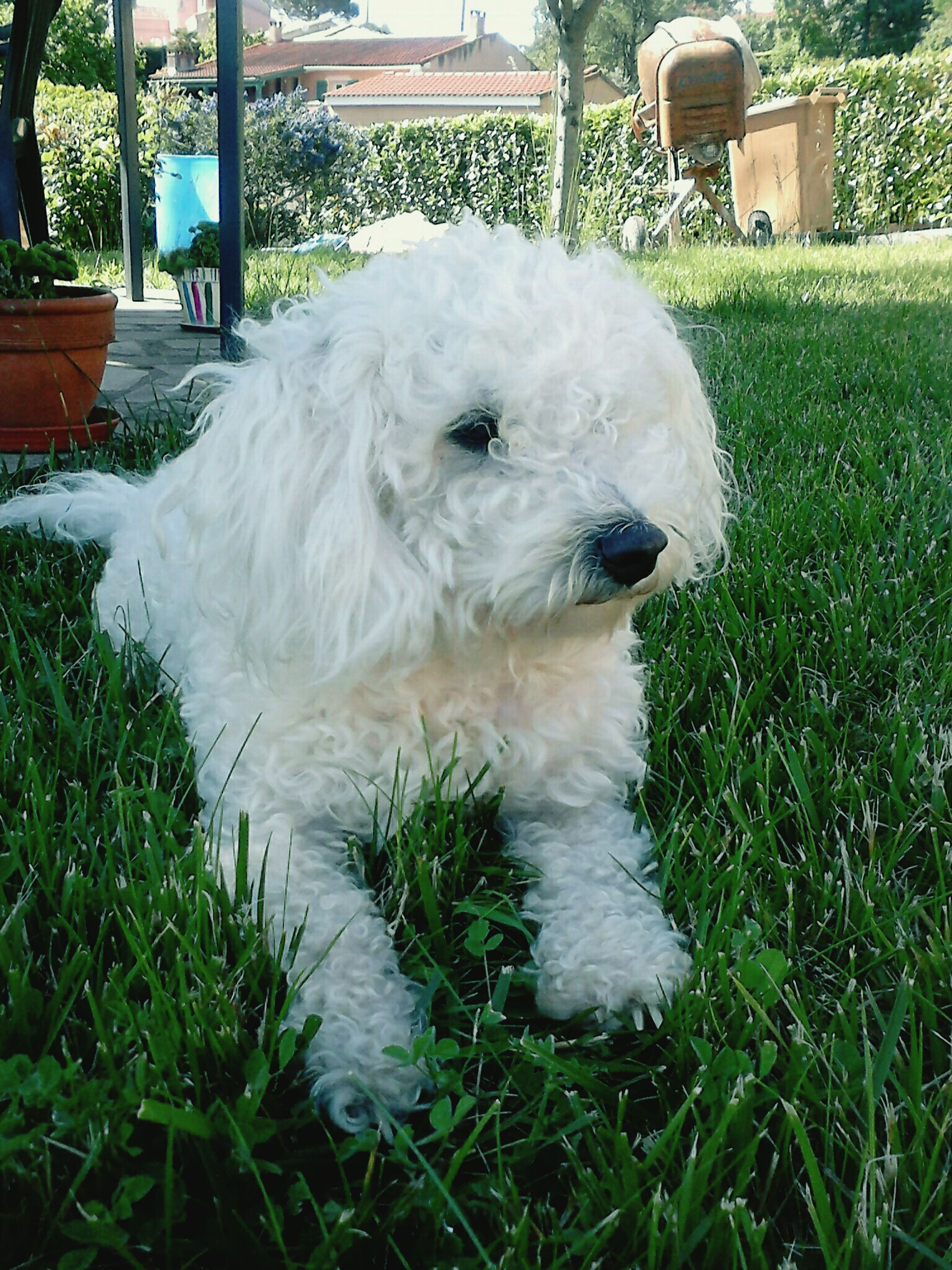 domestic animals, animal themes, one animal, pets, mammal, grass, dog, white color, field, white, animal head, green color, front or back yard, day, close-up, plant, lawn, no people, outdoors, nature