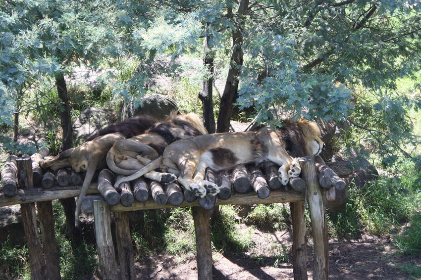 Animal Themes Lions Log Lying Down Manes Nature No People Outdoors Sleeping Trees Zoology