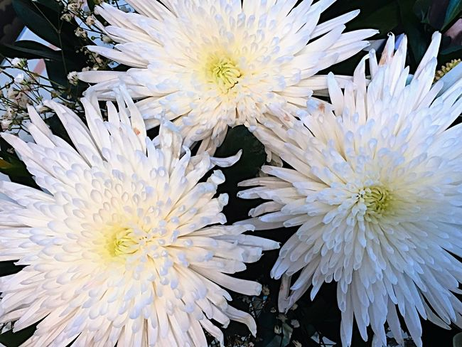 A close up of a white Chrisantemum Backgrounds Beauty In Nature Black Background Bloom Blossom Botany Close-up Colour Image Day Flower Flower Head Fragility Freshness Full Frame Growth In Bloom Macro Nature Nobody Petal Plants And Flowers Softness Springtime White Chrisantemums White Color