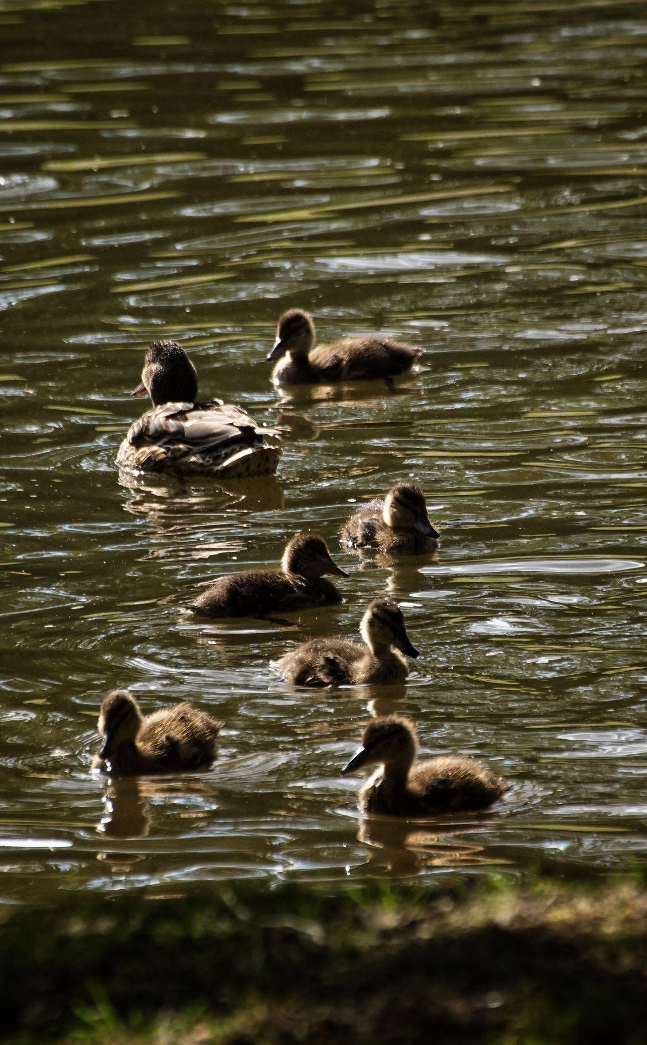 EyeEm Selects Hagaparken Showcase July 2017 Brunnsviken Animals In The Wild Water Animal Wildlife Animal Themes Swimming Outdoors Nature Mallard