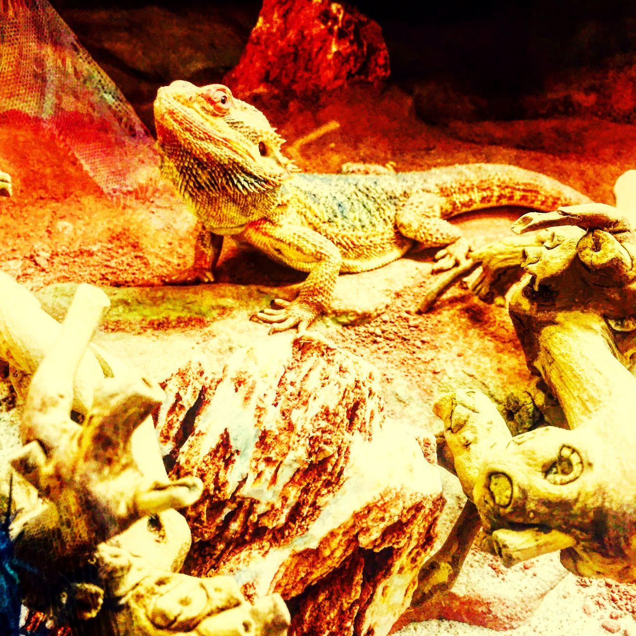 Mon petit dragon 🐉 Pogona Dragonbarbu Pogona Vitticeps Dragonbearded Eyemphotography Reptile Eyemphotos
