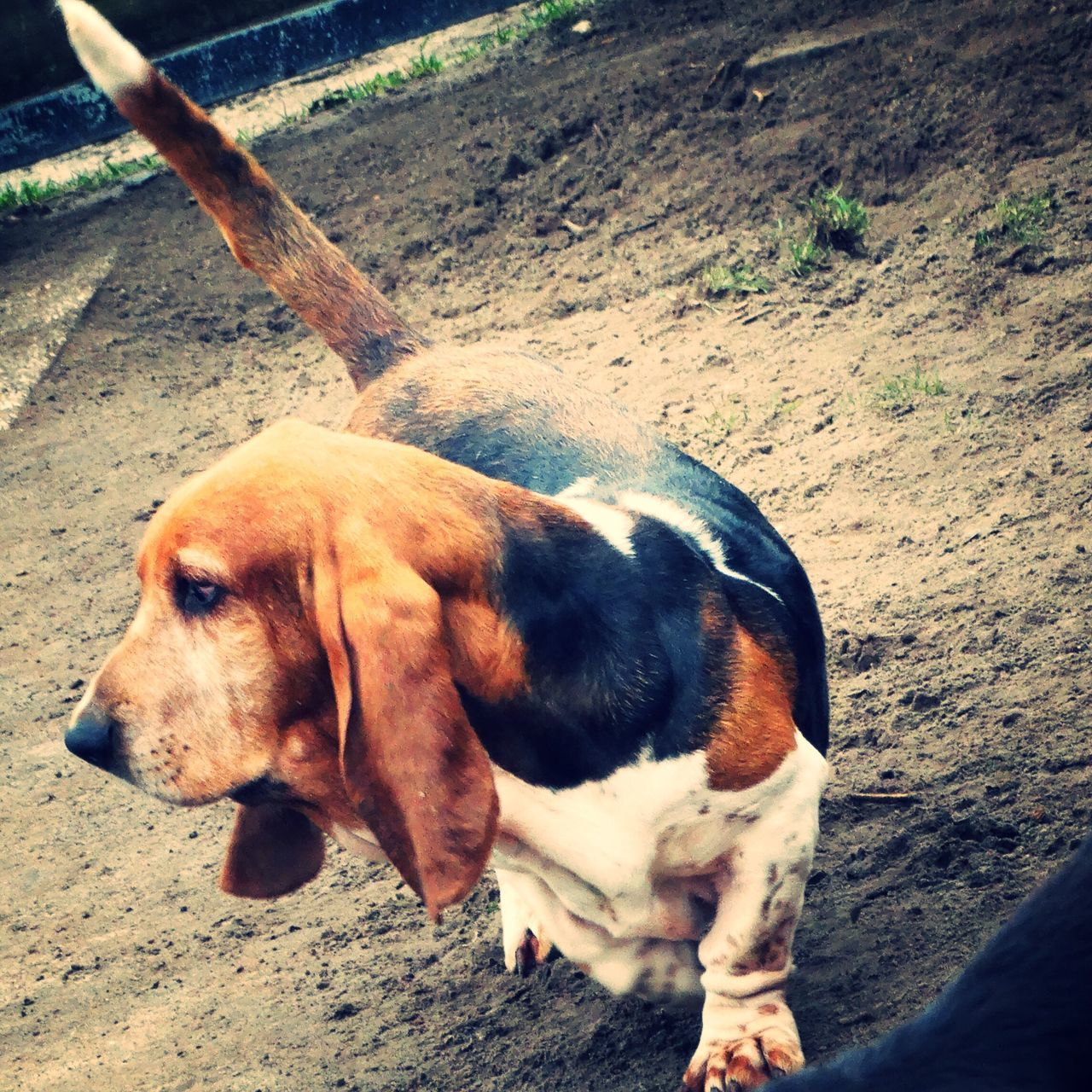 Dog Domestic Animals Mammal One Animal Animal Themes Pets Outdoors Day No People Nature Close-up Beautiful Woman Lily May Collection Lilymayparker.blogspot.be Basset