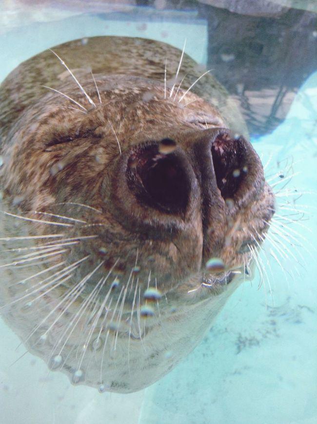 アザラシ 鼻 水族館 城崎マリンワールド 動物 Animals Seal Sea Dog Kinosaki Nose Aquarium