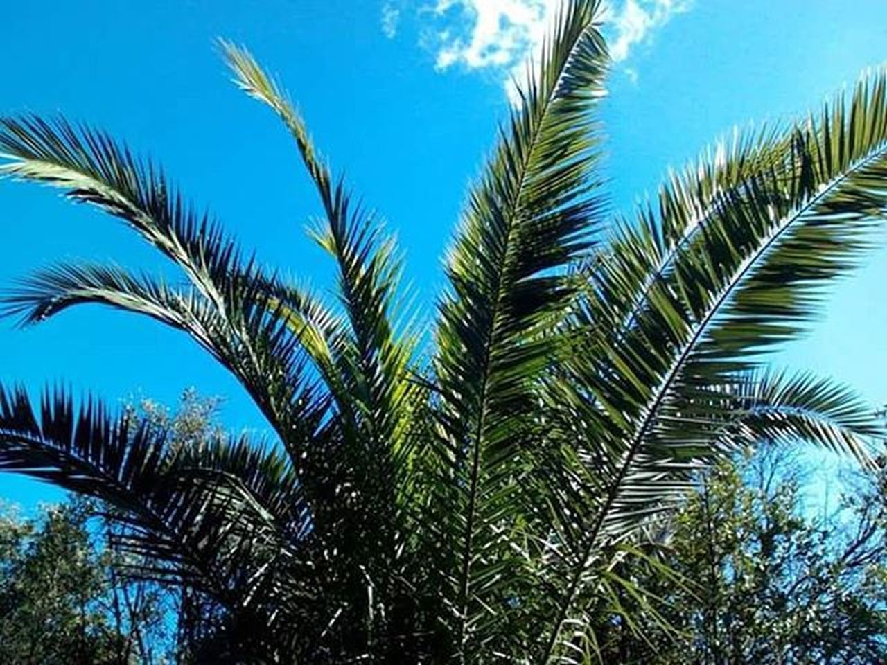 Palma Palm Pálmafa Levelek Leaves Bluesky Skyphoto Sky Zöld Green Növény Plant Naturephotography Nature Naturelovers Roma Rome Iloverome  Világlegszebbvárosa Visszakellmenni Forumromanum Pattern Pieces