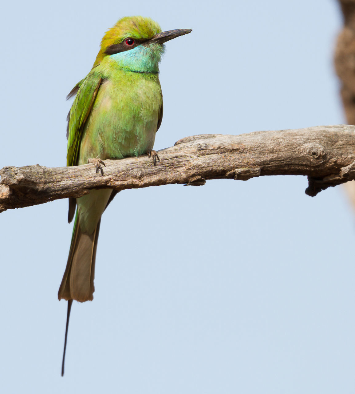 Low Angle View Of Bee-Eater Perching On Branch Against Sky