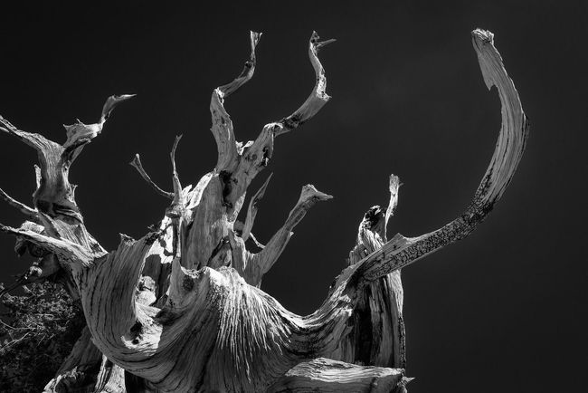 Bristlecone Pine Tree reaching Skyward. Tree Textures And Surfaces Texture Detail Contour Contorted Twisted Sky Twist White Mountains Inyo National Forest Highway 395 Ancient Bristlecone Pine Forest Old Dead Dried Worn Blackandwhite Black And White