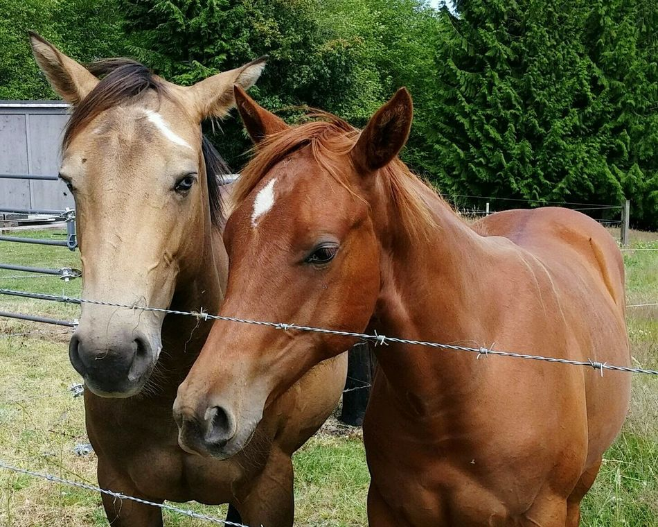 Best friends! My cousins horse and the neighbors 🐴 horse! I took this when I was visiting home in Washington State! Horses I Love Horses Best Buddies  Fresh EyeEm EyeEmNewHere Animals Cell Phone Photography