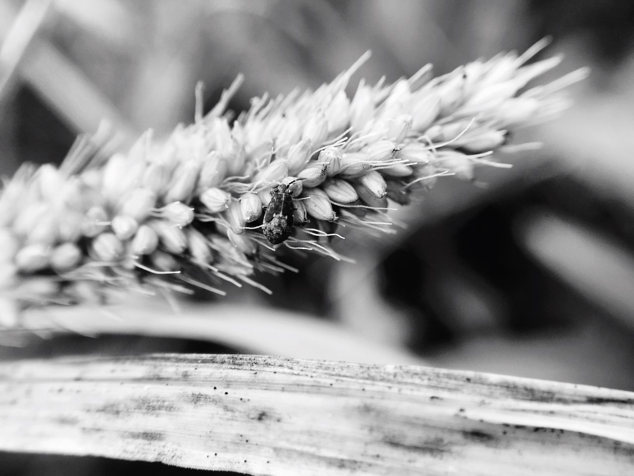 Close-Up Of Wheat