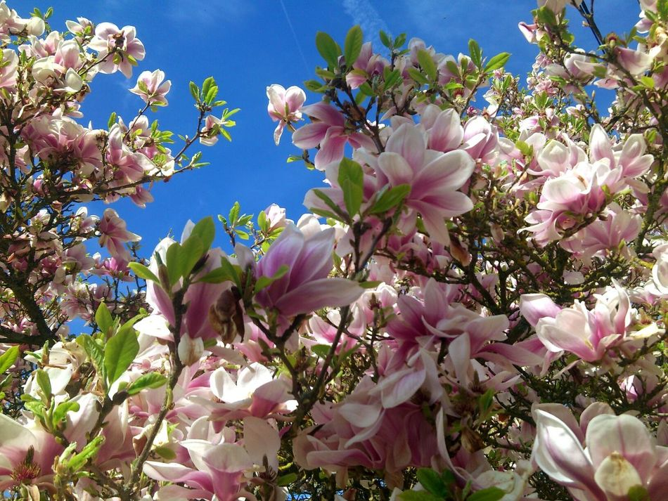 Beautiful stock photos of magnolia, Beauty In Nature, Blooming, Blossom, Day