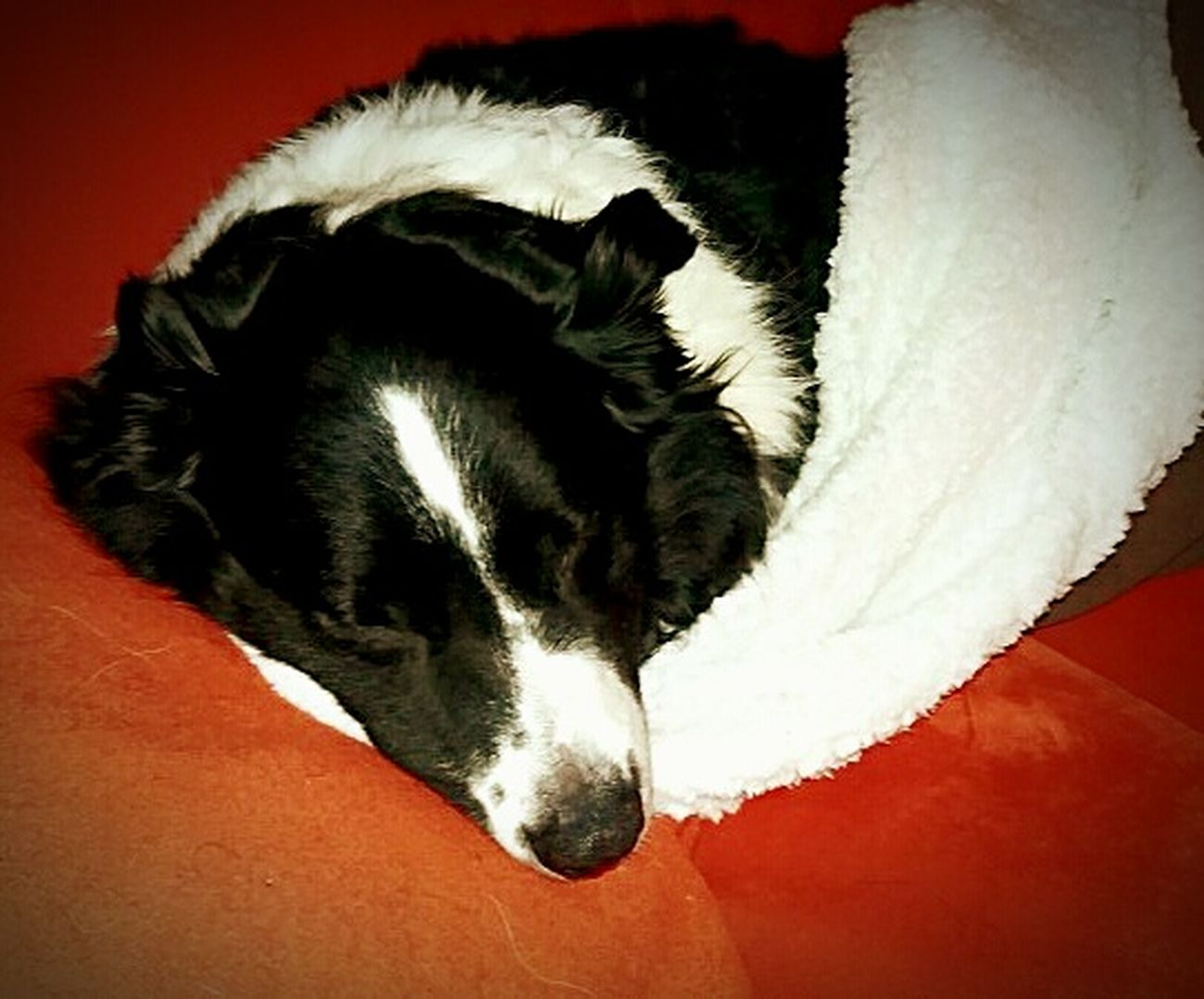 Animal Themes Black Color Sleeping Animal At Home Animal Head  Pets Dog Border Collie Australienshepard Relaxation Sofa Blackandwhite