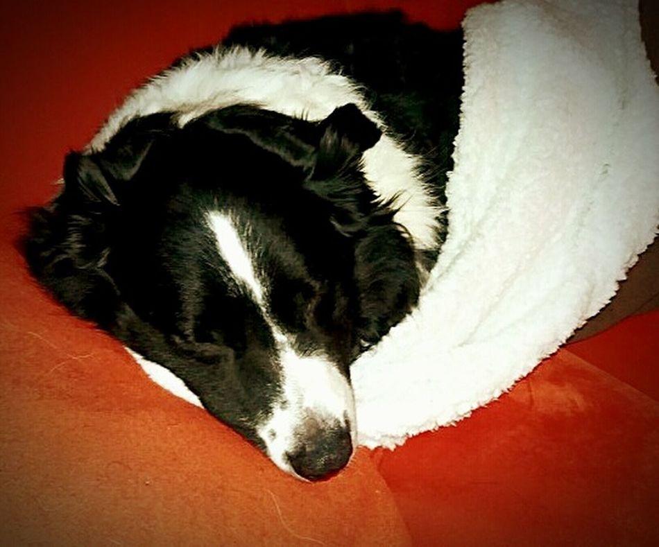 Animal Themes Black Color Sleeping Animal At Home Animal Head  Pets Dog Border Collie Australienshepard Relaxation Sofa Blackandwhite
