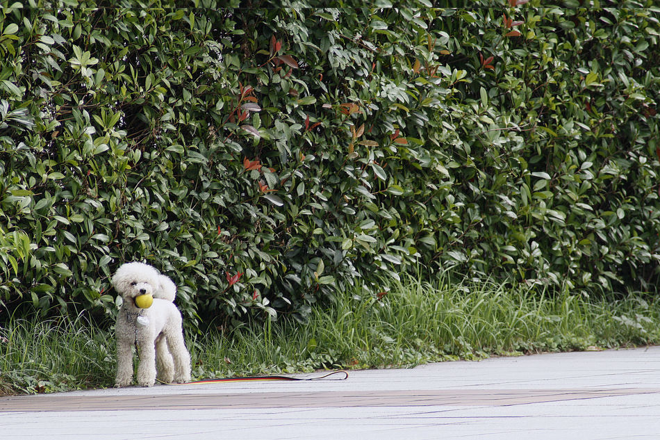 Animal Themes Bichonfrise Day Dogs Of EyeEm EyeEmNewHere Growth Leisure Activity Nature Nature No People One Animal Outdoors Park Pets Pets Of Eyeem Plant Tree Walking The Dog