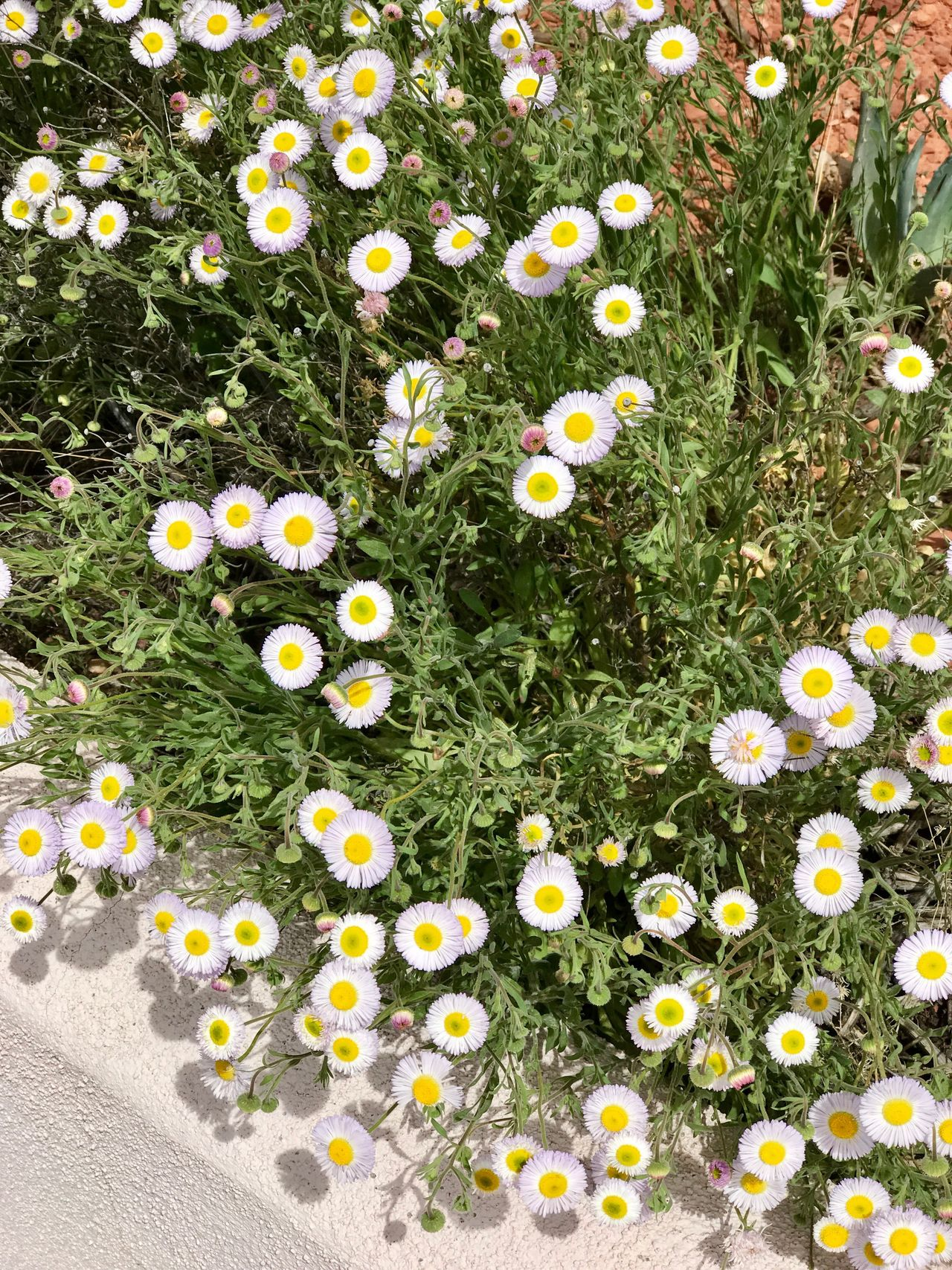 White flowers Flower Yellow Nature Beauty In Nature Growth Plant High Angle View Petal Springtime Green Color Fragility No People Outdoors Flower Head Day Freshness Grass