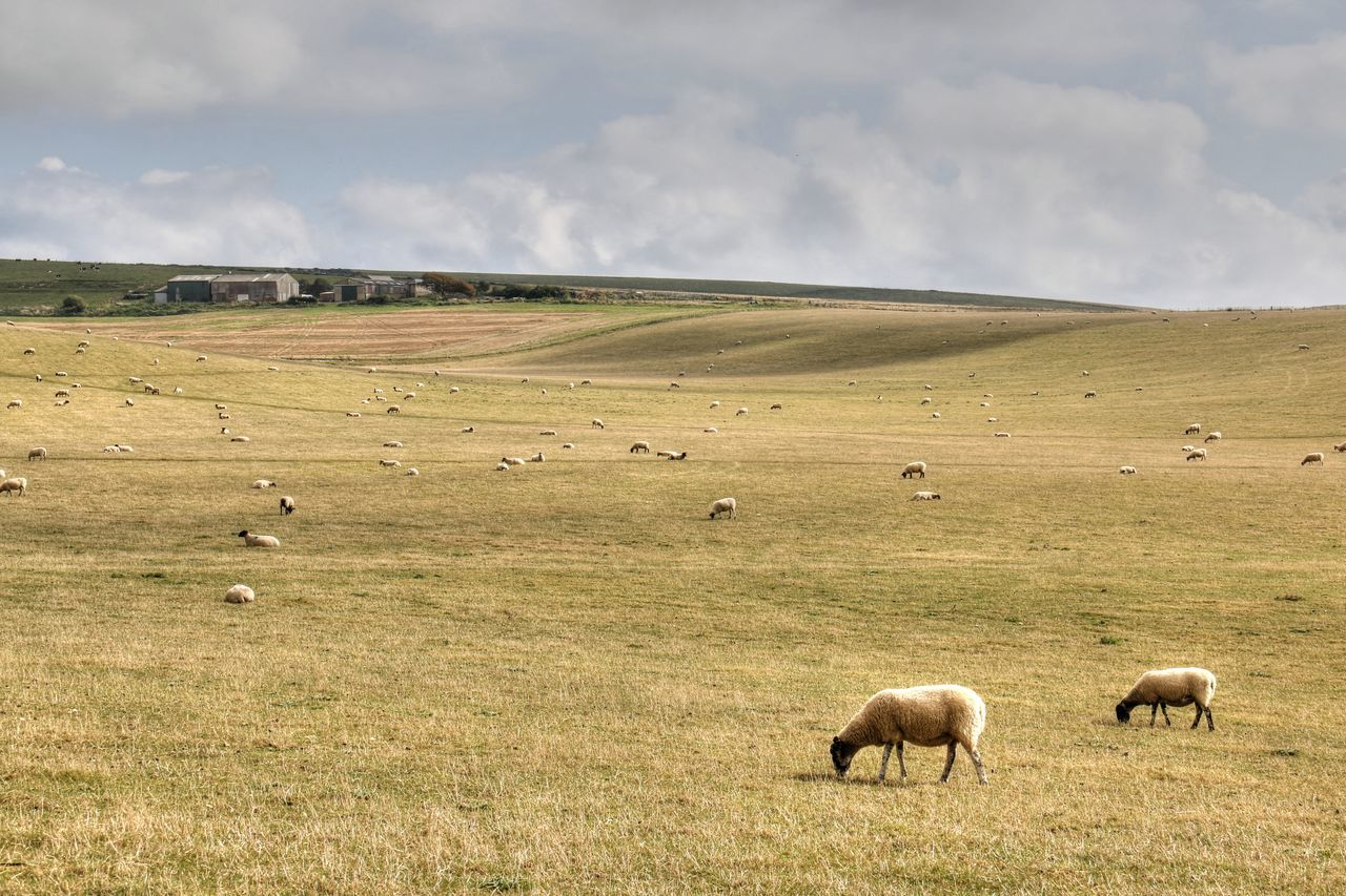 Agriculture Countryside Day England English Countryside Field Grass Grazing Grazing Cattle Landscape No People Outdoors Peaceful Picturesque Quaint  Rolling Hills Rural Rural Scene Sheep South England Sussex