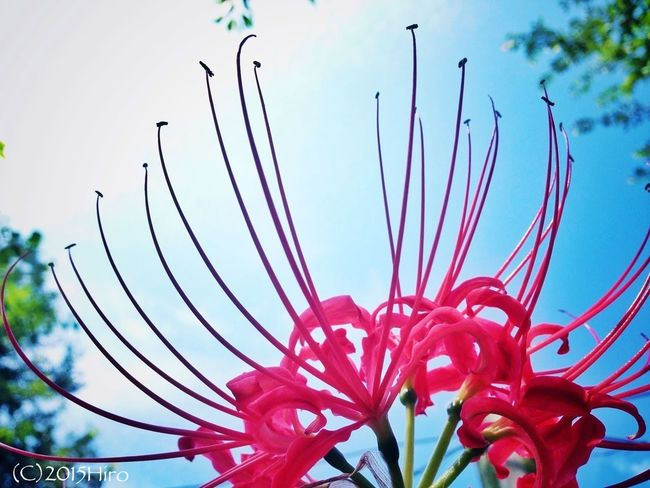 Red spider lily(Lycoris radiata) Flower September Early Fall Japan