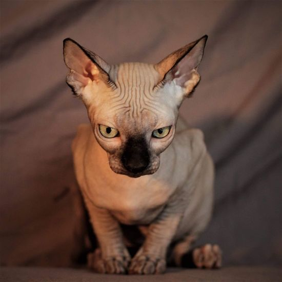 Sphynxportrait Portrait Sphynx Cat Sphynxlove Sphynx Close-up Animal Themes One Animal Animal Body Part Nature Mammal Pets Animal Young Animal Front View Looking At Camera Cute Animal Wildlife No People Day