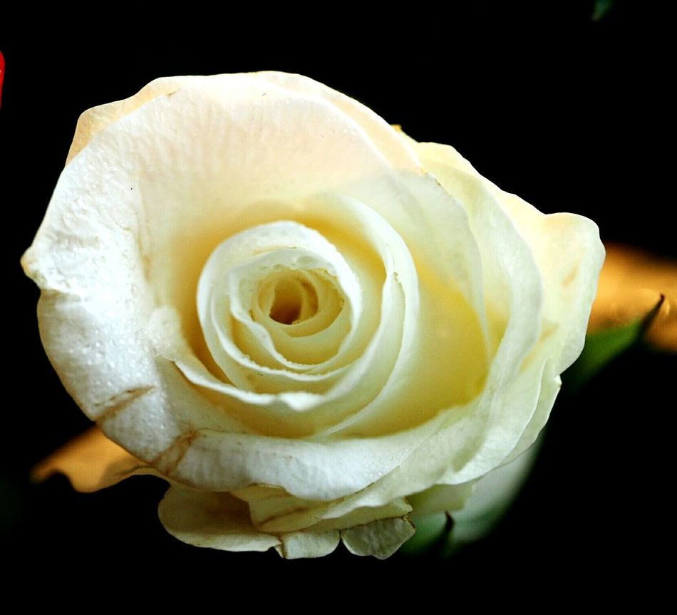Flower Nature Close-up Flower Head Plant Freshness White Rose In The Dark White Flower Purity Softness Petal Focus On Foreground Beautiful Nature Beauty In Nature Fragility Nature Freshness Black Background