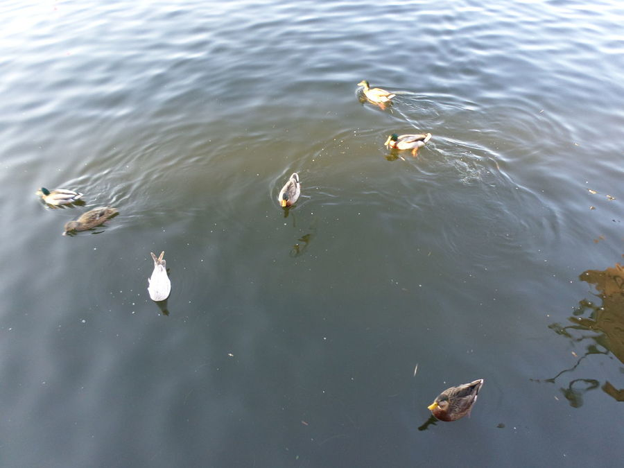 Animal Animal Family Animal Themes Beauty In Nature Day Duckling Elevated View Five Animals Mallard Duck Medium Group Of Animals Nature No People Outdoors Rippled Swimming Tranquility Water Water Bird Wildlife Young Animal