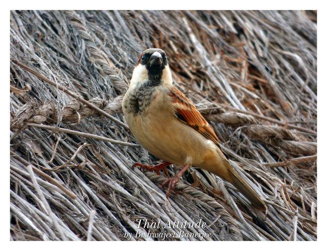 The Attitude Beautiful Bird Birds Cute Bird🐥 India Indian Birds Indoors  Little Sparrow Village Bird
