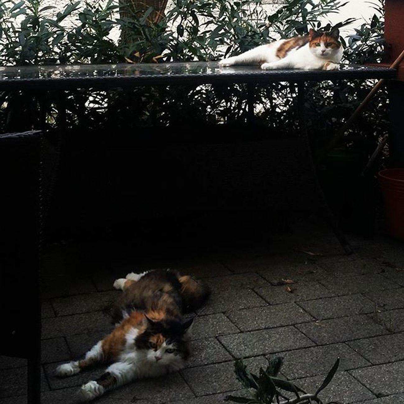 Hundstage für lasche Katzen. Kann man einfach unter den Arm klemmen und wegtragen,die Beiden. Schlaffekatzen Weggechillt Platt Plumps Katzen Cats Catsofinstagram