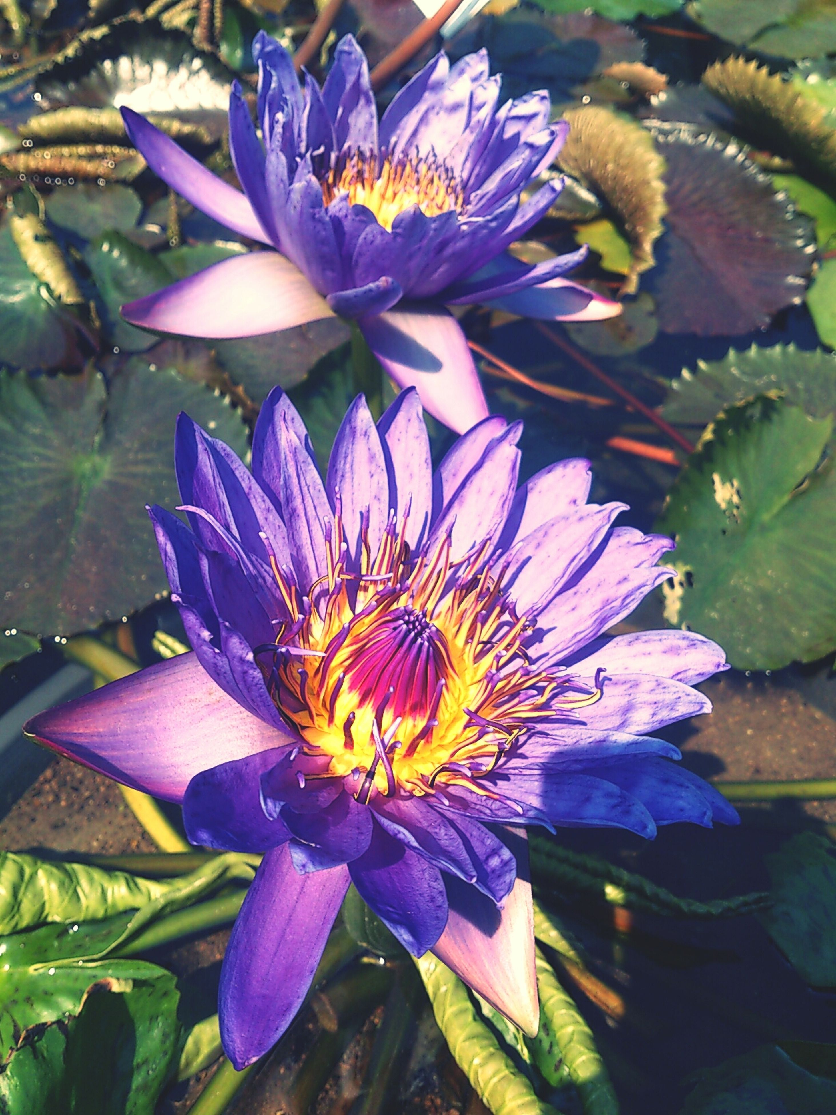 flower, petal, freshness, flower head, fragility, water lily, purple, growth, beauty in nature, water, pollen, blooming, pond, close-up, plant, nature, leaf, lotus water lily, single flower, high angle view