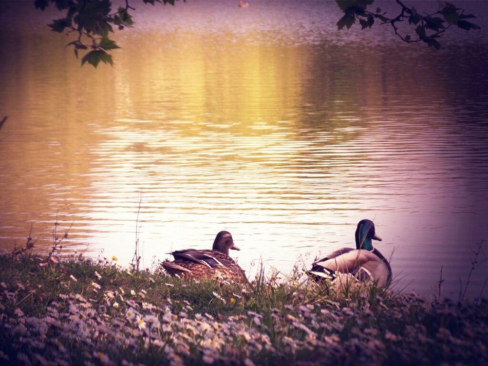 Working Hard Couple Lake Ducks
