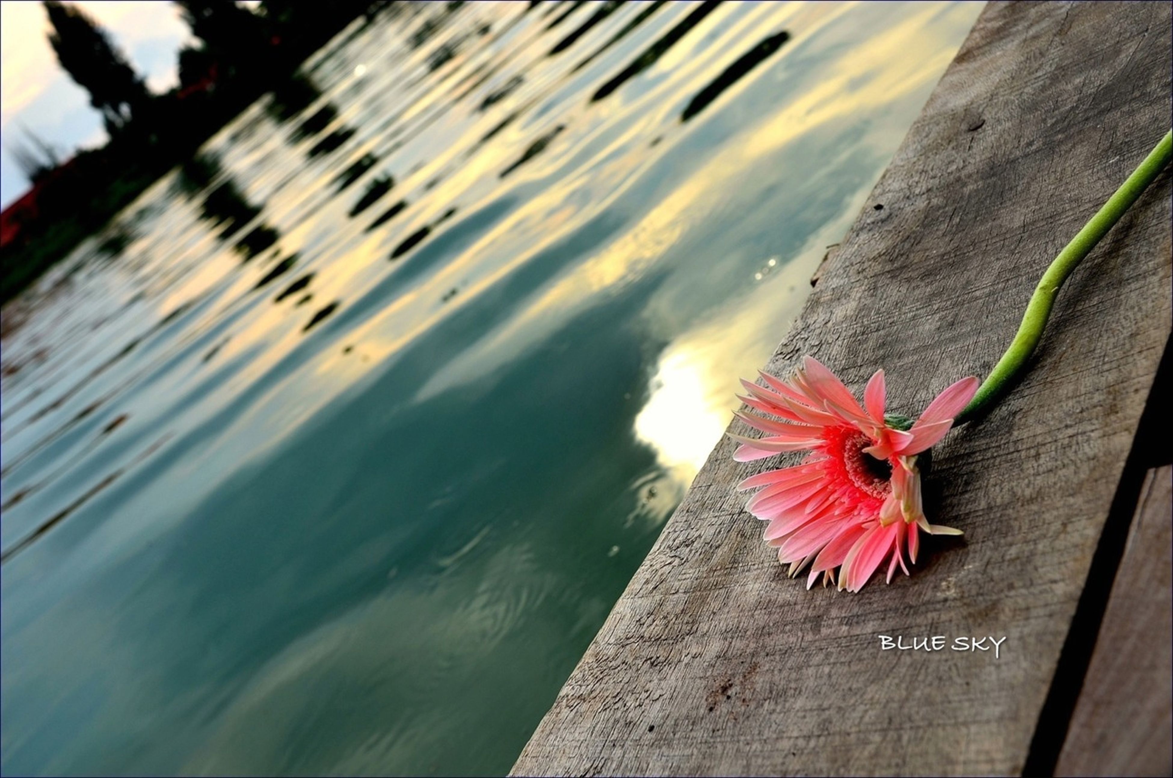 flower, pink color, water, red, petal, nature, beauty in nature, fragility, close-up, outdoors, day, focus on foreground, high angle view, no people, wood - material, freshness, flower head, sunlight, reflection, multi colored