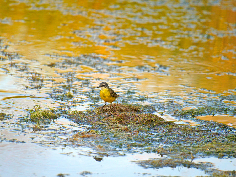 Animal Animal Themes Animals In The Wild Beauty In Nature Bird Birds Calmness Environment Motacilla Motacilla Flava Nature Perching Perching Bird River Silence Songbird  Tranquil Scene Tranquility Trill Walking Water Western Yellow Wagtail Wildlife Yellow Wagtail