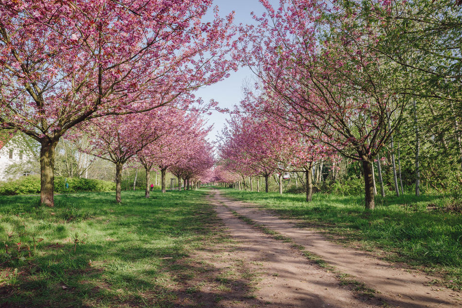 pink japanese cherry tree blossoms against blue sky Beauty In Nature Blossom Blue Sky Copy Space Day Flower Green Grass Growth Japanese Cherry Blossom Tree Japanese Cherry Blossoms Japanese Cherry Tree. Landscape Nature No People Outdoors Pink Blossoms Scenics Spring Spring 2017 Spring Flowers Springtime The Way Forward Tranquil Scene Tranquility Tree