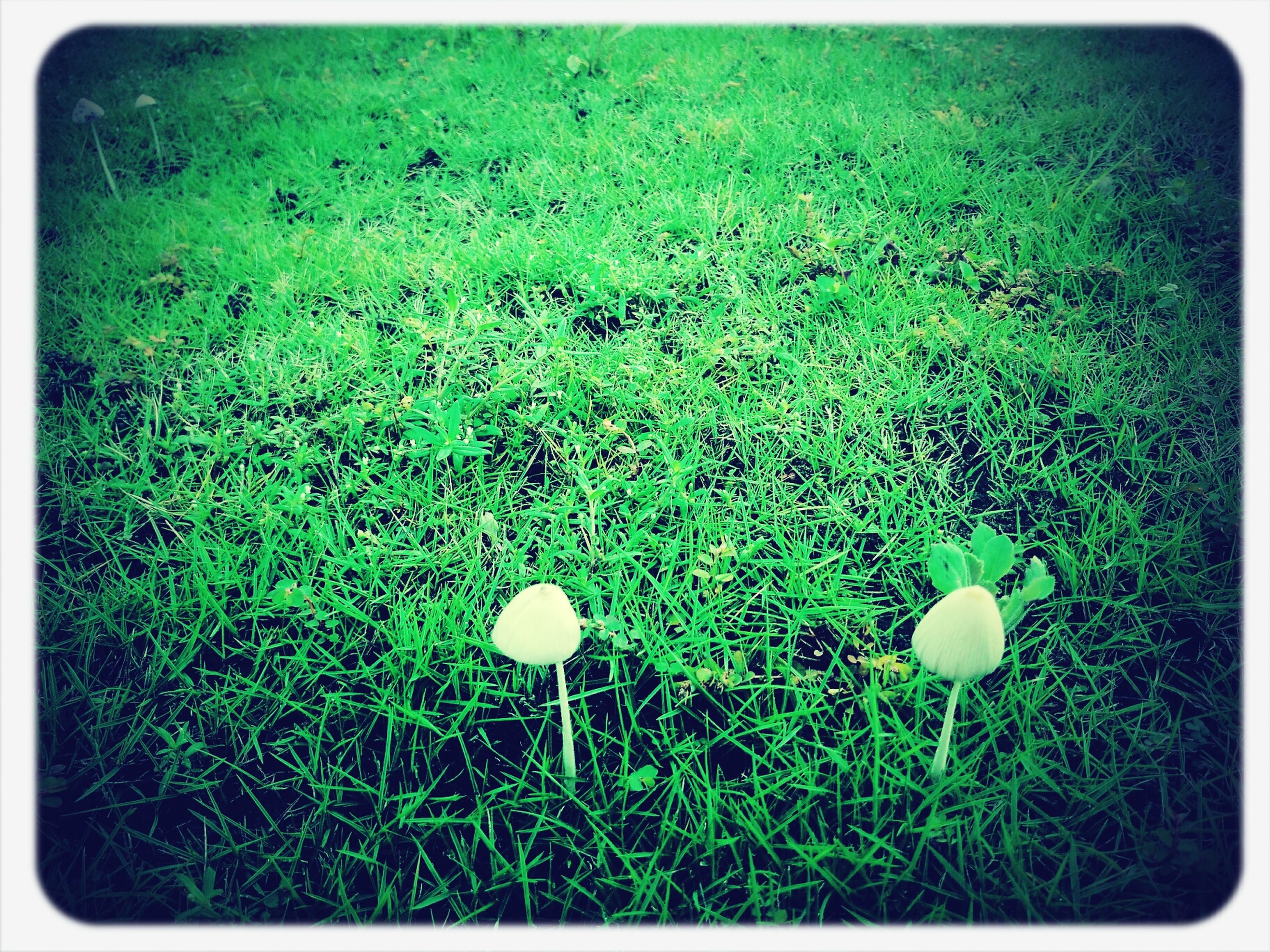 grass, transfer print, field, grassy, growth, auto post production filter, green color, mushroom, nature, white color, plant, freshness, beauty in nature, fragility, meadow, close-up, day, outdoors, high angle view, no people
