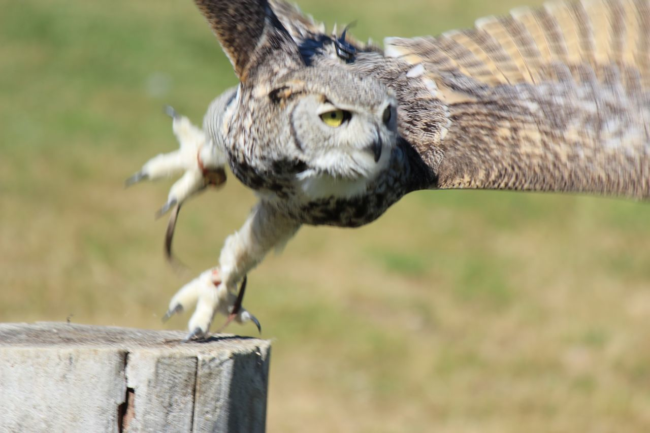 animal themes, bird, one animal, animals in the wild, focus on foreground, bird of prey, day, animal wildlife, outdoors, close-up, no people, spread wings, nature, owl
