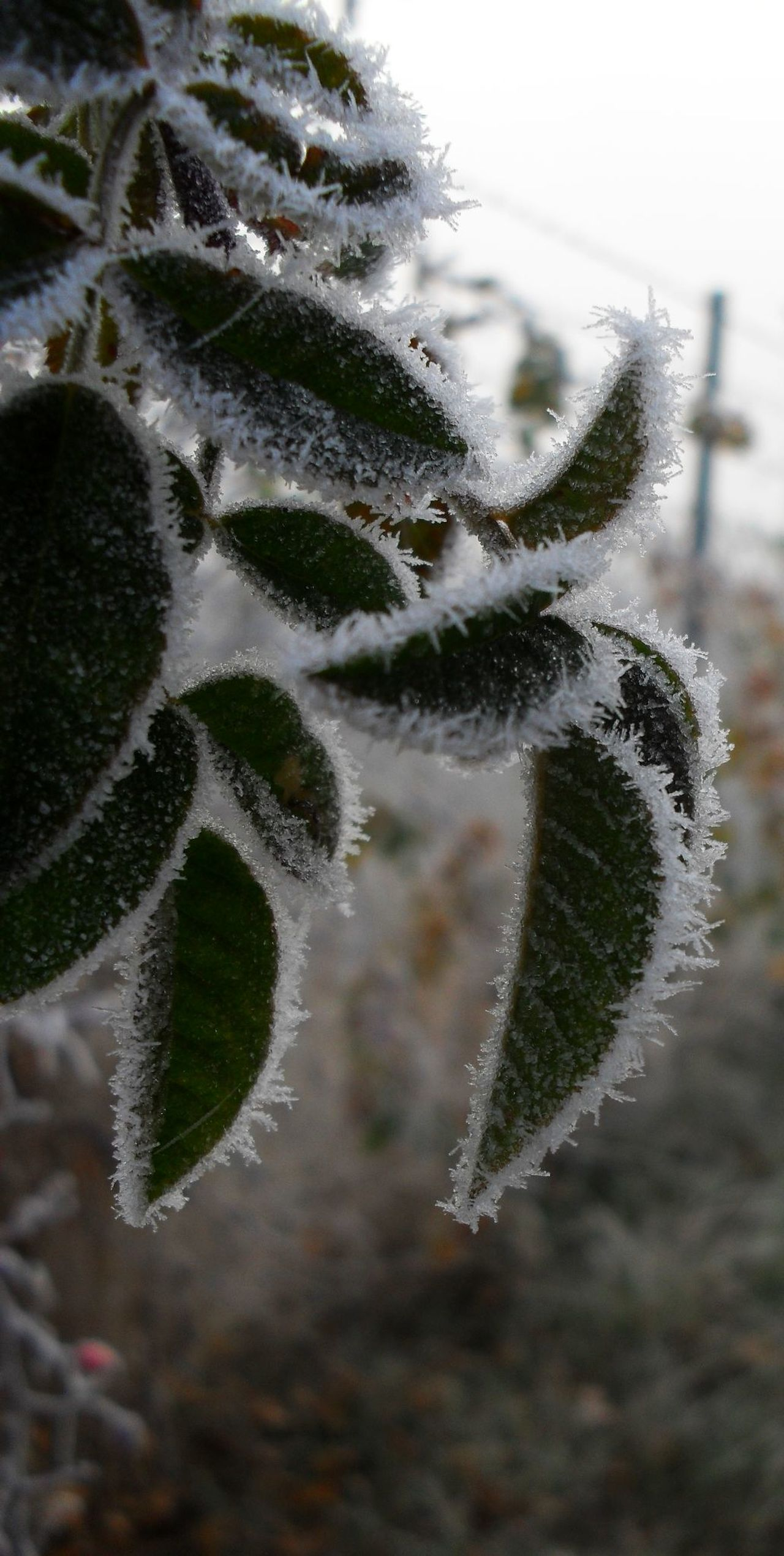Beauty In Nature Close-up Cold Temperature Frost Nature No People Outdoors Rime Szentes Winter