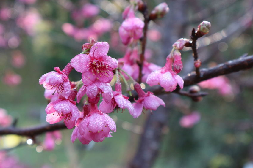 pink cherry blossom or Sakura flower in raining day. Cherry Blossoms Sakura Beauty In Nature Blooming Blossom Botany Branch Close-up Day Flower Flower Head Focus On Foreground Fragility Freshness Growth Nature No People Outdoors Petal Pink Color Plant Plum Blossom Springtime Tree Twig