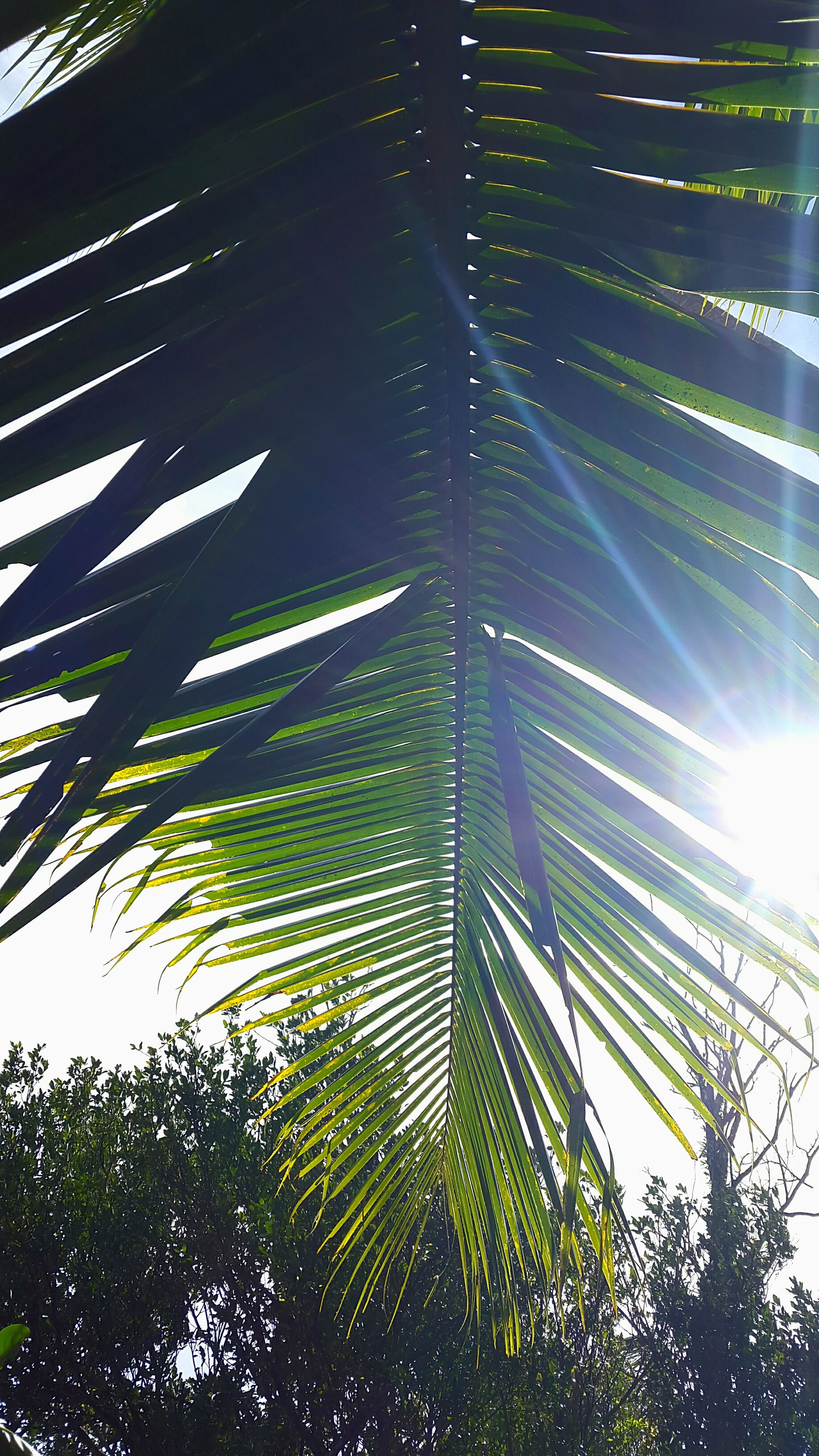low angle view, growth, palm tree, tree, leaf, palm leaf, green color, nature, tall - high, sunlight, outdoors, beauty in nature, no people, day, sky, tranquility, branch, tree trunk, clear sky