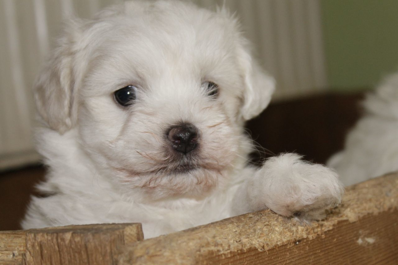 pets, dog, domestic animals, one animal, mammal, animal themes, looking at camera, cute, indoors, portrait, puppy, animal hair, home interior, close-up, no people, day