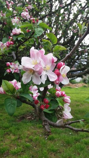 Primavera Flower Tree