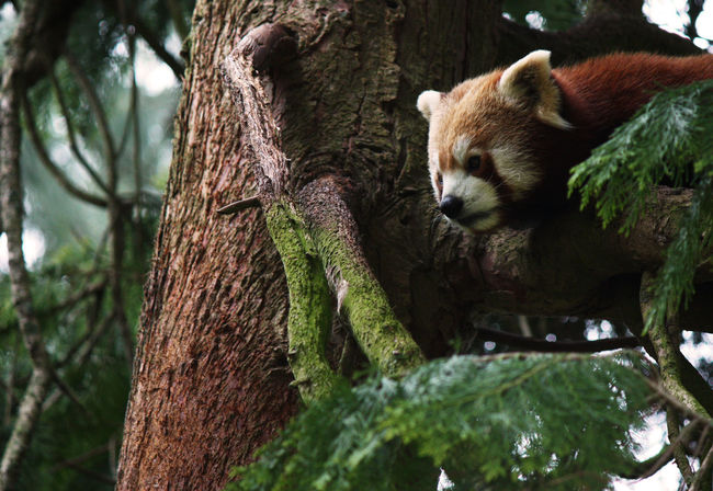Animal Animal Themes Branch Close-up Day Forest Mammal Nature One Animal Outdoors Red Panda Resting Tree Tree Trunk Wildlife Zoo Zoo Zoo Animals  Zoology