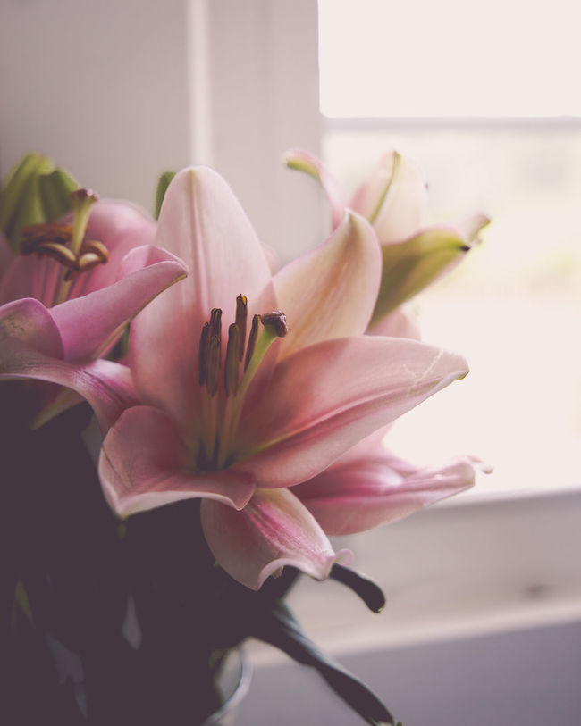 Close-up Flower Flower Head Flowers Fragility Freshness Home Decor Indoors  Kitchen Window Lilies Lilly Lily Nature Petal Pink Pink Color Pink Flower Pink Flowers Plant