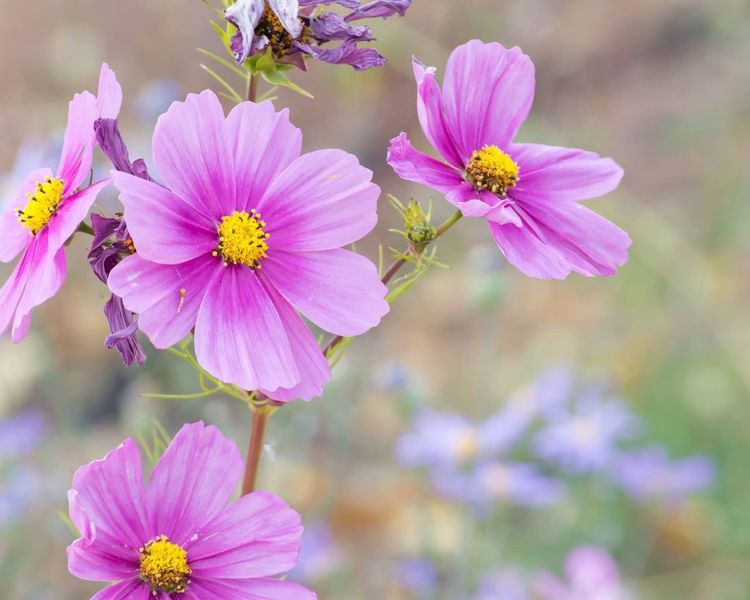 Pink Wildflower Flower Petal Fragility Flower Head Beauty In Nature Nature Freshness Blooming Growth Plant Pink Color Outdoors No People Day Close-up Pollen Cosmos Flower Animal Themes